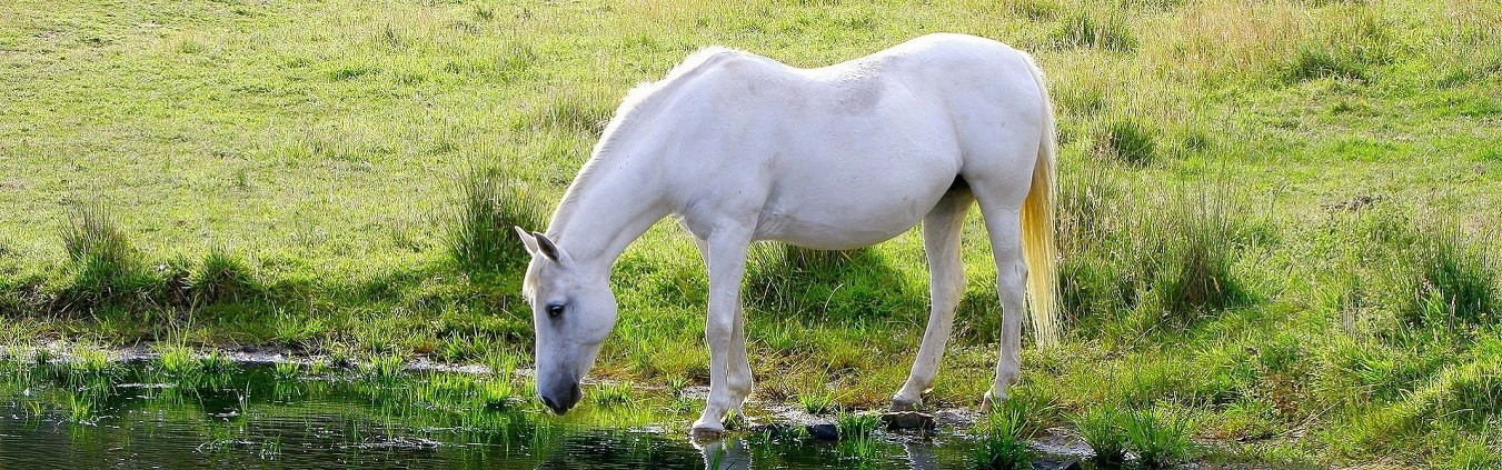 poney_camargue